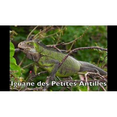 Iguane en danger